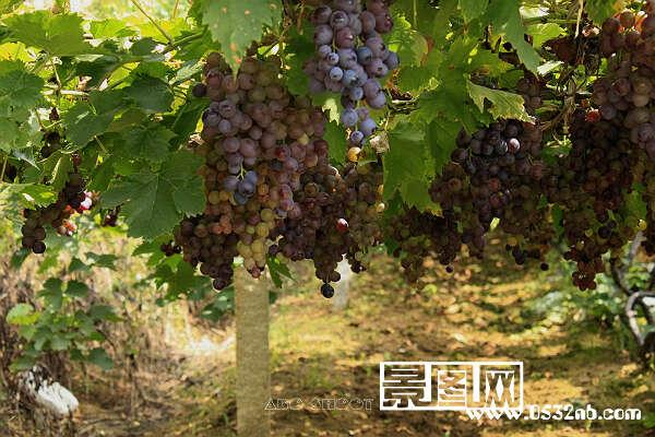 大泽山葡萄节,爬满葡萄架子的葡萄